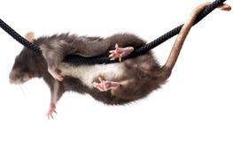Grey rat on rope Stock Photos
