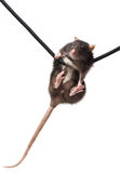 Grey rat on rope Royalty Free Stock Photos