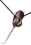 Grey rat on rope Royalty Free Stock Photos