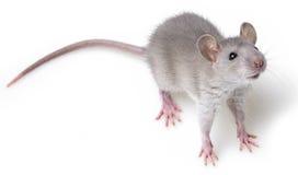 Grey rat Royalty Free Stock Image