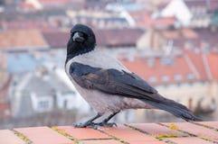 Grey Raven auf dem Hintergrund der ungarischen Häuser Lizenzfreie Stockbilder