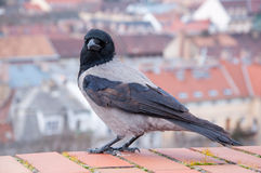 Grey Raven on the background of the Hungarian houses Royalty Free Stock Images