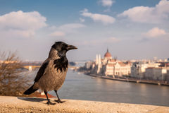Grey Raven on the background of the Hungarian Parliament, Budapest, Hungary.  Stock Photos