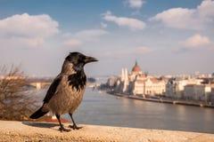 Grey Raven no fundo do parlamento húngaro, Budapest, Hungria Fotos de Stock