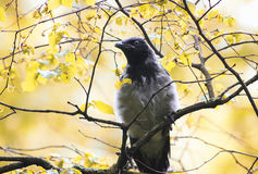 Grey Raven stands on the branch of a tree in autumn Park Stock Images