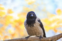 Grey Raven stands on the branch of a tree in autumn Park Royalty Free Stock Image