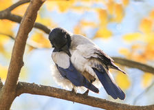 Grey Raven stands on the branch of a tree in autumn Park Stock Photo