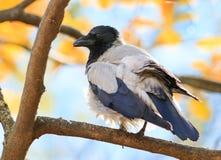 Grey Raven-tribunes op de tak van een boom in de herfstpark Royalty-vrije Stock Foto's
