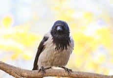 Grey Raven-tribunes op de tak van een boom in de herfstpark Royalty-vrije Stock Fotografie