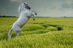 Grey rearing in wheat field stock photo