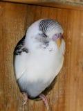 Grey Recessive Pied-baby budgie Stock Afbeelding