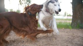 Grey and red dog playing together. In the Park stock video