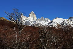 Grey and Red Forest with Fitz Roy. Fitz Roy on a clear winter morning. Landscape has many dead bushes and trees. Mountain is covered in snow royalty free stock photography