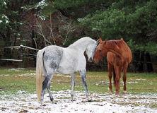 Grey and red horses on a glade. Grey and red horses contact on a glade near the wood royalty free stock photography
