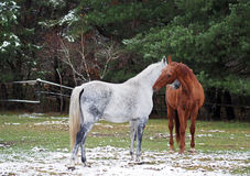 Grey and red horses on a glade. Grey and red horses contact on a glade near the wood royalty free stock photo