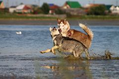 Grey and red husky for a walk royalty free stock images