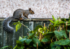 Grey and red Squirrel on the garden fence. Squirrel on the garden fence with foliage Royalty Free Stock Image