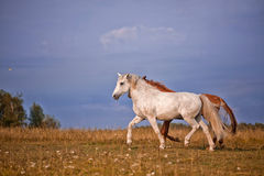 Grey and red stallions Royalty Free Stock Photos