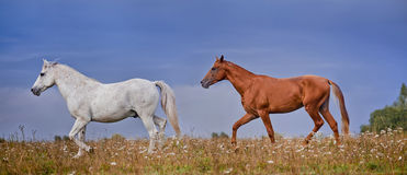Grey and  red stallions Royalty Free Stock Photo