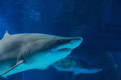 Grey reef shark. (Carcharhinus amblyrhynchos). Sharks (superorder Selachimorpha) are a type of fish with a full cartilaginous skeleton and a highly streamlined stock images