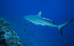 Grey reef shark. Great barrier reef Royalty Free Stock Images