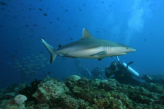 Grey reef shark Stock Photo