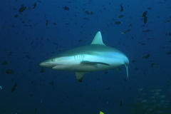 Grey reef shark Royalty Free Stock Images