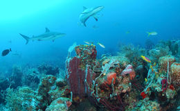 Grey reef shark. Underwater of grey reef shark swimming over coral reef in blue sea Stock Image
