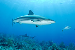 Grey reef shark. Reef shark swims in clear blue ocean royalty free stock photos