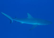 Grey reef shark Royalty Free Stock Photography