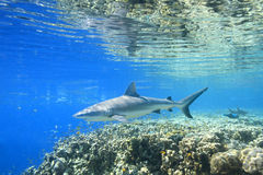 Grey Reef Shark stockfotos