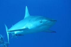 Grey reef shark with an accompanion Royalty Free Stock Image