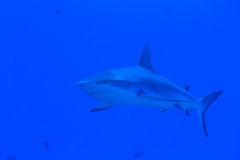 Grey reef shark with an accompanion Stock Photo