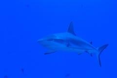 Grey reef shark with an accompanion stock photo