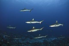 Grey reef shark Carcharhinus Amblyrhynchos. In deep blue of Pacific Ocean royalty free stock image