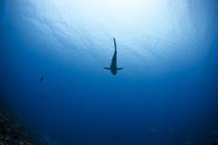 Grey reef shark Carcharhinus Amblyrhynchos. In deep blue of Pacific Ocean royalty free stock photos