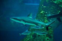 Grey reef shark (Carcharhinus amblyrhynchus).  stock photography