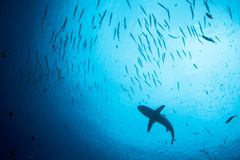 Grey Reef Shark and Fish in Republic of Palau. A Grey reef shark, Carcharhinus amblyrhynchos, swims in the waters of the Republic of Palau. This tropical island stock images