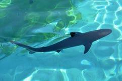 Grey reef shark Royalty Free Stock Image