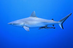 Grey Reef Shark med suckerfishen Arkivfoton