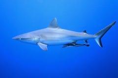 Grey Reef Shark med suckerfishen arkivfoton