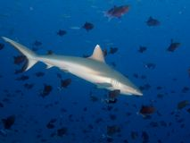 Grey Reef Shark. Surrounded by hundreds of Redtoothed triggerfish royalty free stock photos