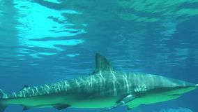 Grey reef shark. Swim under water stock video footage