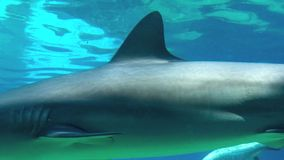 Grey reef shark stock video footage