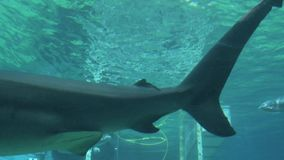 Grey reef shark. Swim under water stock video