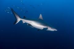 Grey Reef Shark Royalty Free Stock Photography