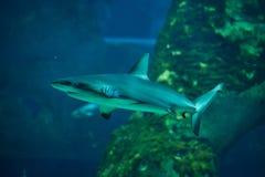 Grey reef shark (Carcharhinus amblyrhynchus) Stock Image