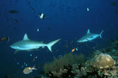 Grey reef sharks Stock Images