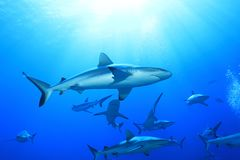 Grey reef sharks. Charcharhinus amblyrhynchos underwater in the Great Barrier Reef of Australia royalty free stock images