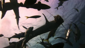 Grey reef sharks and fish attack food stock footage